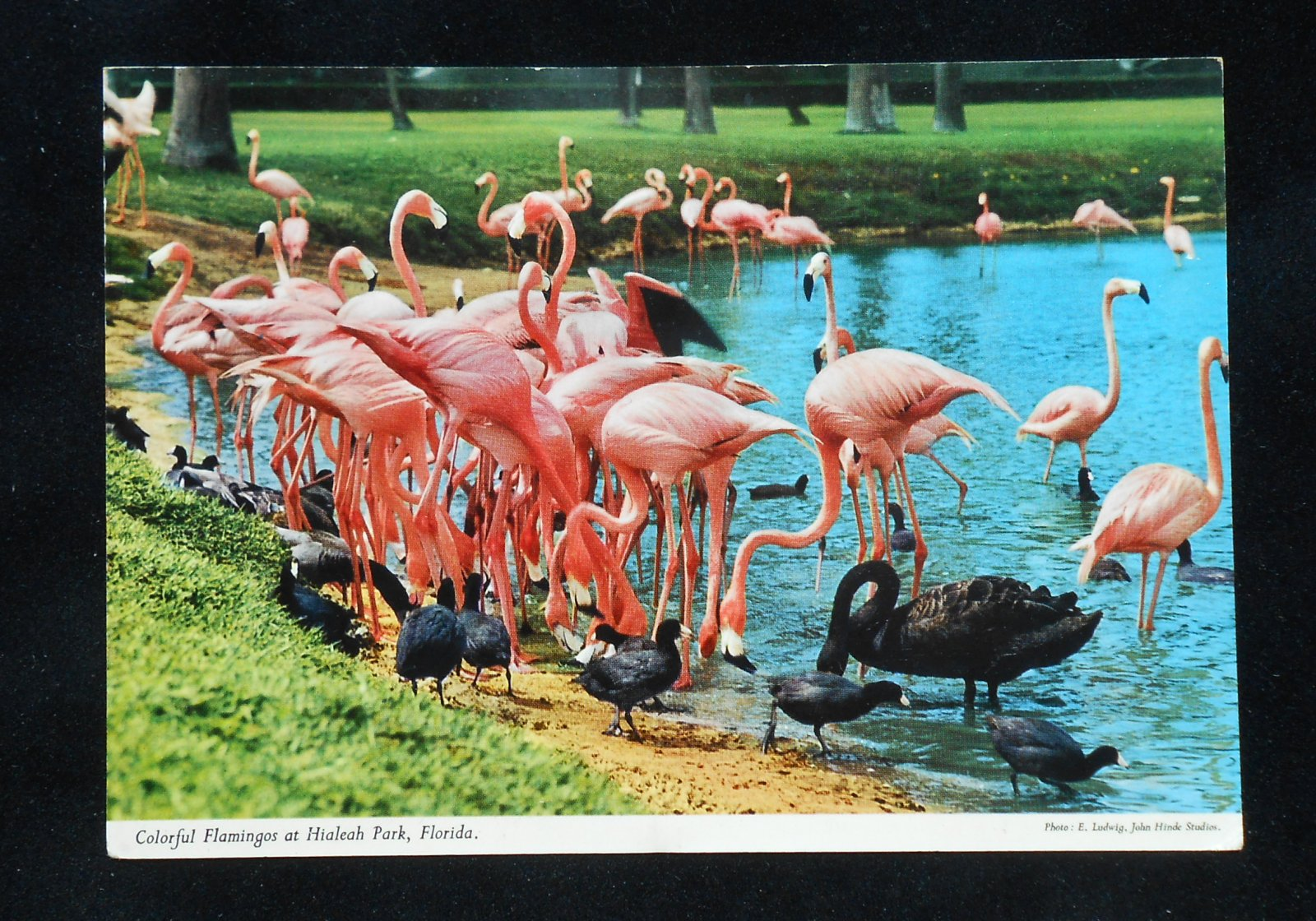 Hialeah Race Track Flamingos